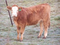 Lucky Clover Red Diamond - Red Simmental
