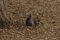 Castle Squirrel