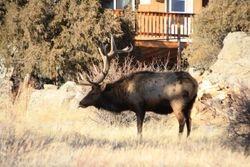 Elk at Estes Park CO