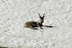 Caribou in Denali Park