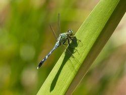 Common Green Darner