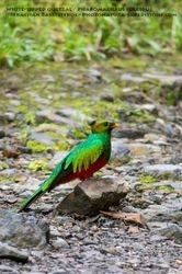 White-tipped quetzal / Pharomachrus fulgidus
