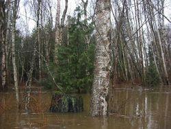 Little Cedar in the Birch Woods