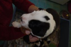 Jazzys babies-13 days old -Black and white male -13 days old!