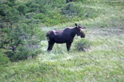 Moose at L'Ance Aux Meadows