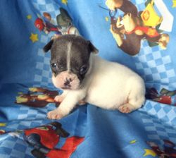 BeBe: $3295 companion after spay binder rebate, female, AKC French Bulldog, born 4-15-17 to Berry Pie and Geronimo