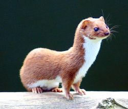 Weasel