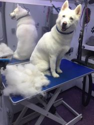 A Husky looking amazed at the hair removed