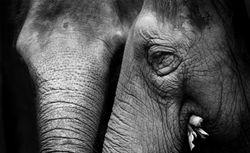 Elephant Detail 1