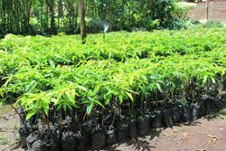 Mango seedlings ready for sale