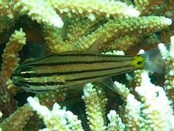 Toothy Cardinalfish
