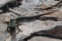 A Madeiran lizard!