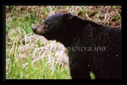 Black Bear smelling flowers