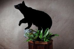 Black Bear on Custom Walnut base