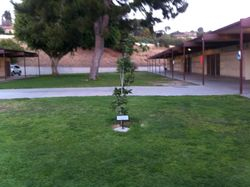 Tree Planted in Sho's Memory