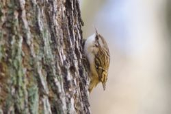 Short-toed Treecreeper  (Grimpereau des jardins)