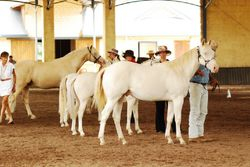 Line up for Best presented Cremello/Perlino