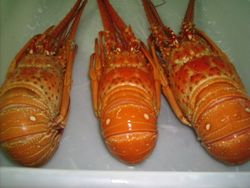 Lobsters from Brasil