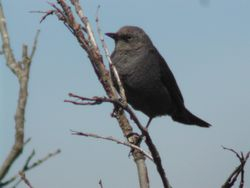 An evil-looking Rusty Blackbird  (Quiscale rouilleux)