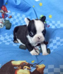 Rockin Riva:  $3495 after spay rebate, full AKC with breeding rights $3995, Female French Bulldog, cobby miniature to be about 16 lbs grown, born on 4-6-17 to Red Robin and Calix