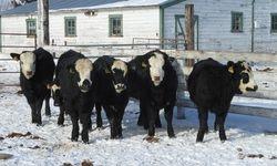 Hereford X Angus open heifers