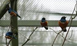 Australasian starlings