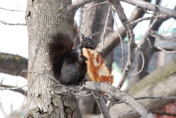 Pizza Squirrel