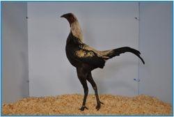 Champion Birchen ( cockerel ).