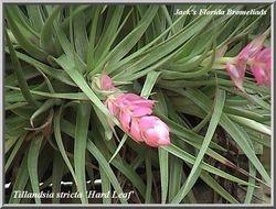 Tillandsia stricta 'Hard Leaf' $3.50