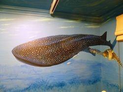 JACK'S ROOM 3   the whale shark