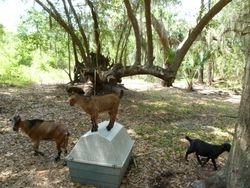 Goats at the Yard Farm