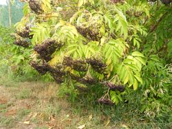 Elderberry bushes heavy with fruit