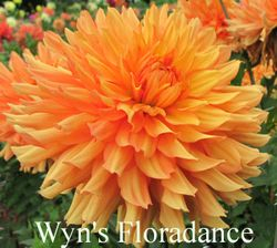 Wyn's Floradance A ID Orange SOLD OUT