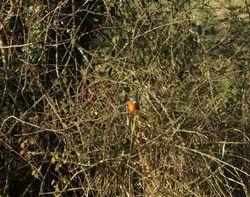 Posing Kingfisher