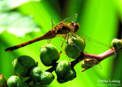 Dragonfly on Seed Pod