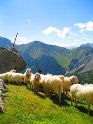 Mountain Sheep 3