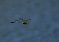 Emperor Dragonfly in flight. Copyright Ste Bond.