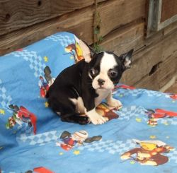 Rockin Riva:  $2595 after $300 spay rebate, full AKC with breeding rights $3495, Female French Bulldog, cobby miniature to be about 16 lbs grown, born on 4-6-17 to Red Robin and Calix