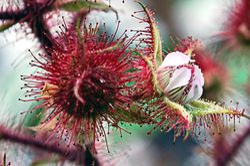 Raspberry flower close up