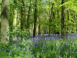 Bluebells at apiary 2012