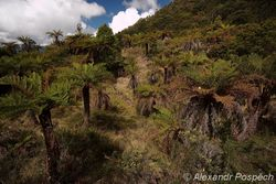 Forest of tree ferns, Highlands