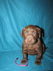 "5 Weeks Old - Pink Collar Female ""Coco"""