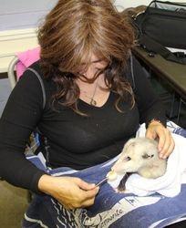 Feeding a rescue possum