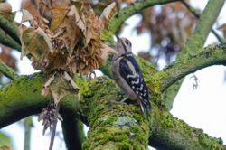 Great Spotted Woodpecker (Pic epeiche)