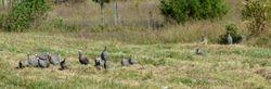 Guineas in the field