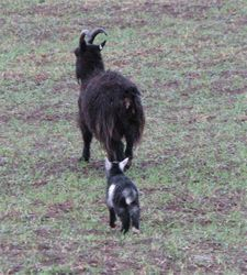 Wild goat with kid in Cheviots