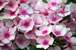 Pink Flocks