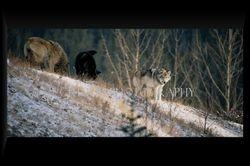 Wolf Pack II