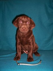 """Blue Collar Male """"Angler"""" - 6 Weeks Old"""