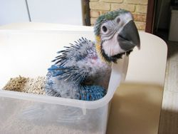Blue and Gold Macaw (Monty)